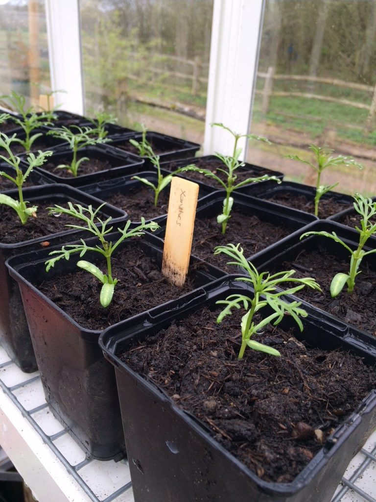 sprouting xanthos